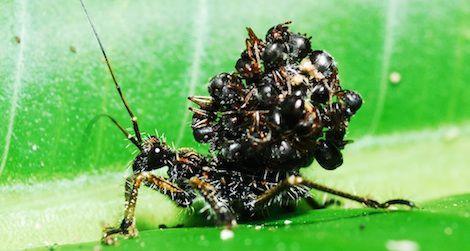 アリの死骸を山積みにする