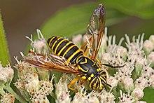 有毒なハチに擬態した「ハナアブ」