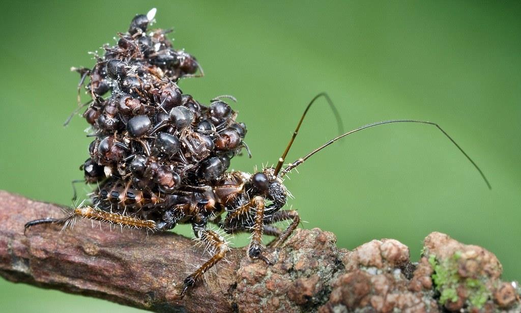 アリの死体を山と積む昆虫