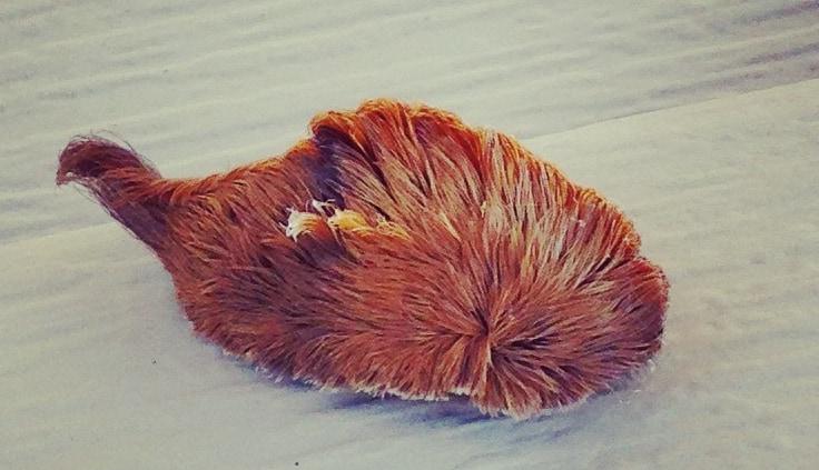 サザンフランネルモスの幼虫