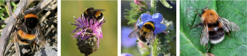 ミューラー型擬態をつくる4種のマルハナバチ