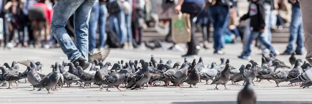 都市にはハトがたくさん生息している