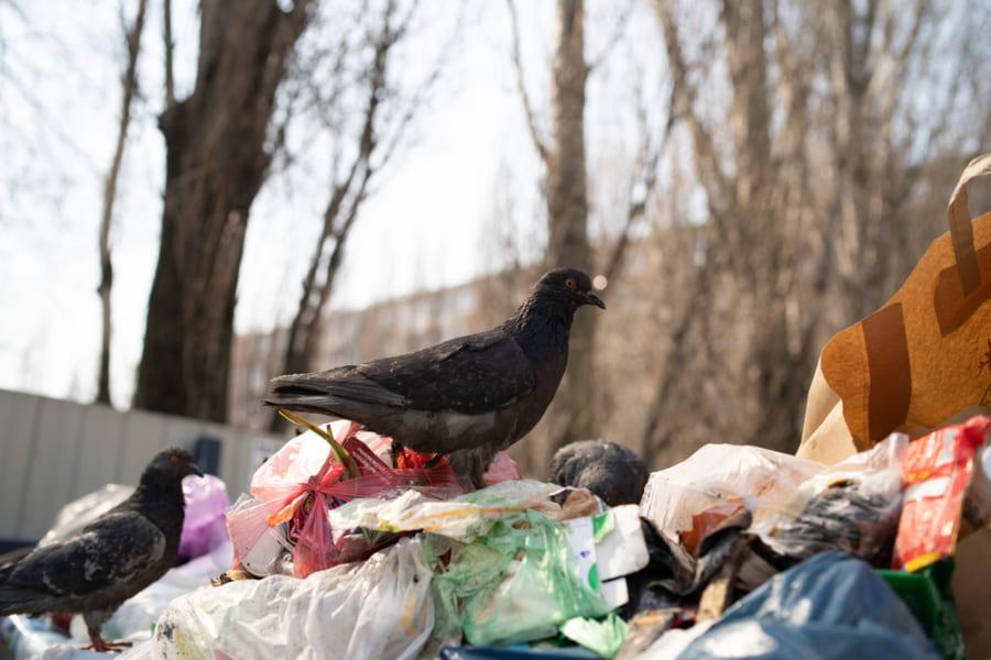 ハトは人間の食べ残しで生活できる