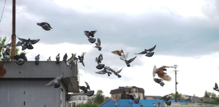 ハトは優れたナビゲーション能力をもつ