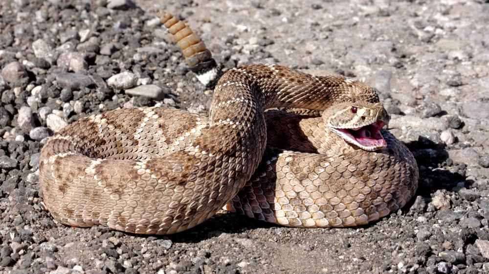 ガラガラヘビの秘密は尻尾だけではない