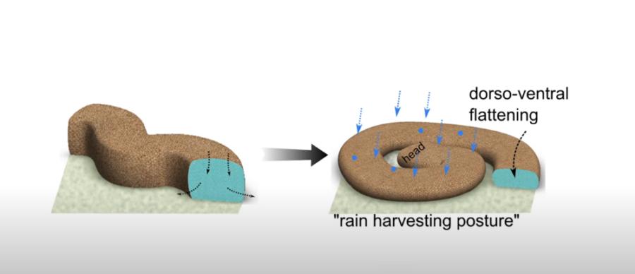 身体を平らにして雨水をより多く確保する