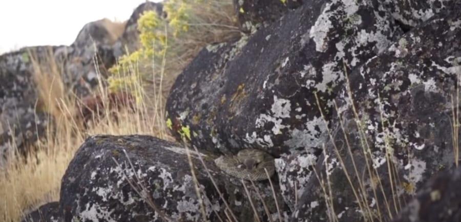 雨水を集めるニシダイヤガラガラヘビ