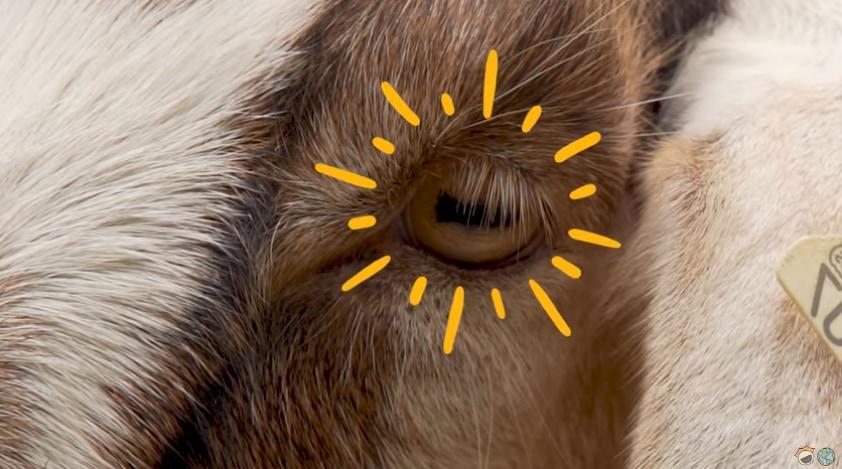 ヤギなどの草食動物の瞳孔は横に伸びた長方形