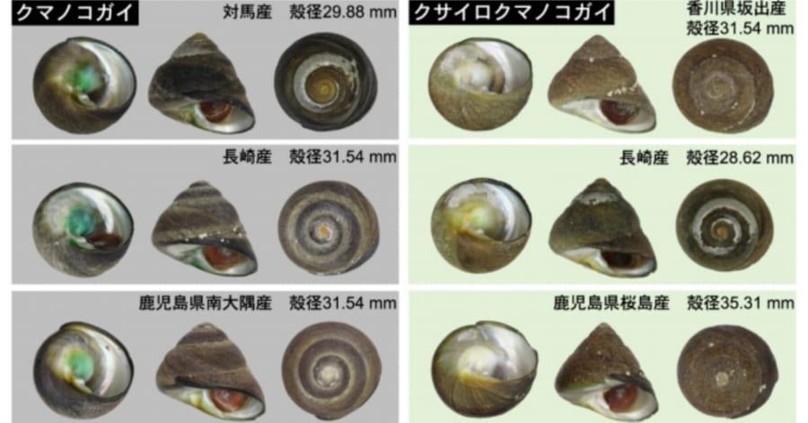 知らずに食べていた⁈ 食用の「シッタカ貝」の一種がまったくの新種だったと判明!(日本)