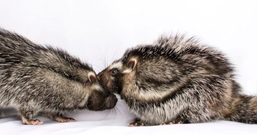 有毒な木を「かじって」致死性の高い毒を獲得するネズミが出現!? 数ミリグラムでゾウが失神する