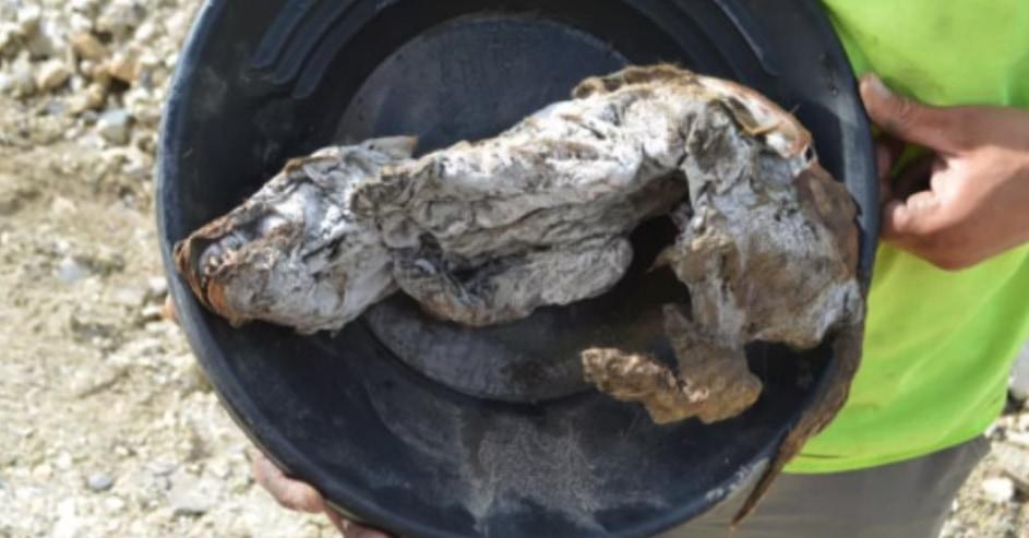 史上最古、オオカミの凍結ミイラを発見!5.7万年前から保存状態もパーフェクト(カナダ)