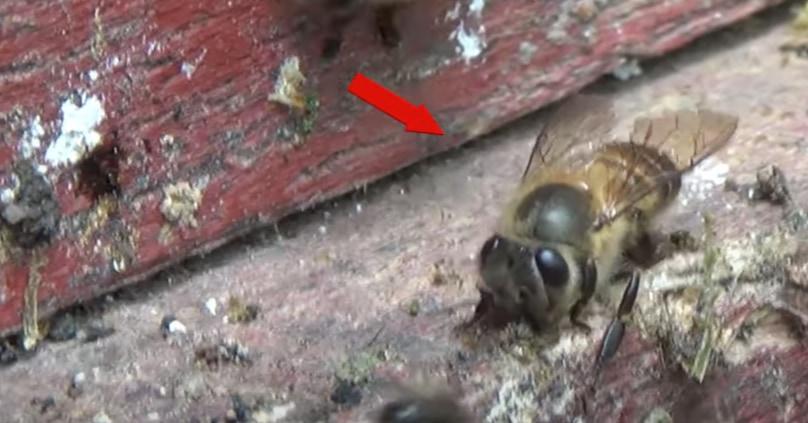 ミツバチは「ウンチの壁」を作ってスズメバチから身を守っていたと判明!