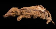5万7000年前のオオカミのミイラ