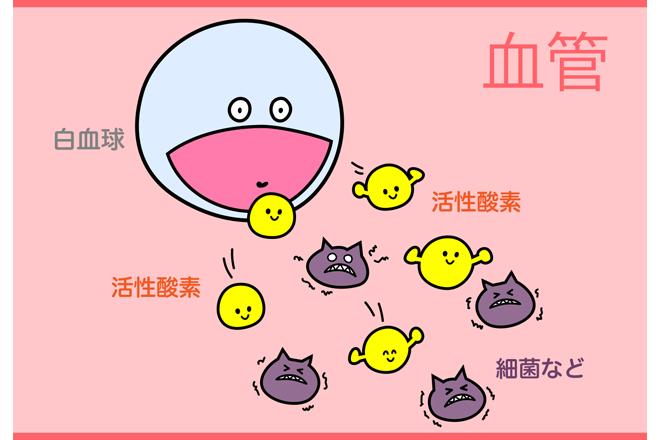 白血球は細菌と戦うために活性酸素を放出する。