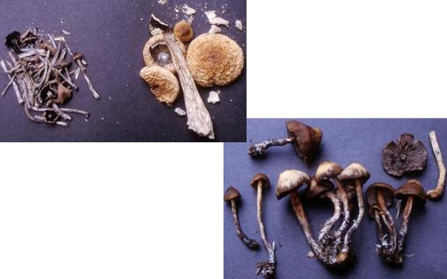マジックマッシュルームと呼ばれているキノコの一例。左上はミナミシビレタケ。右下はアイゾメヒカゲタケ。