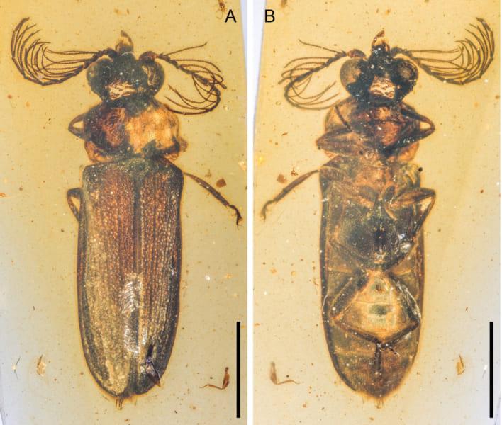 発見された発光性の甲虫