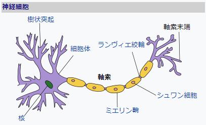 神経細胞と神経線維(軸索)