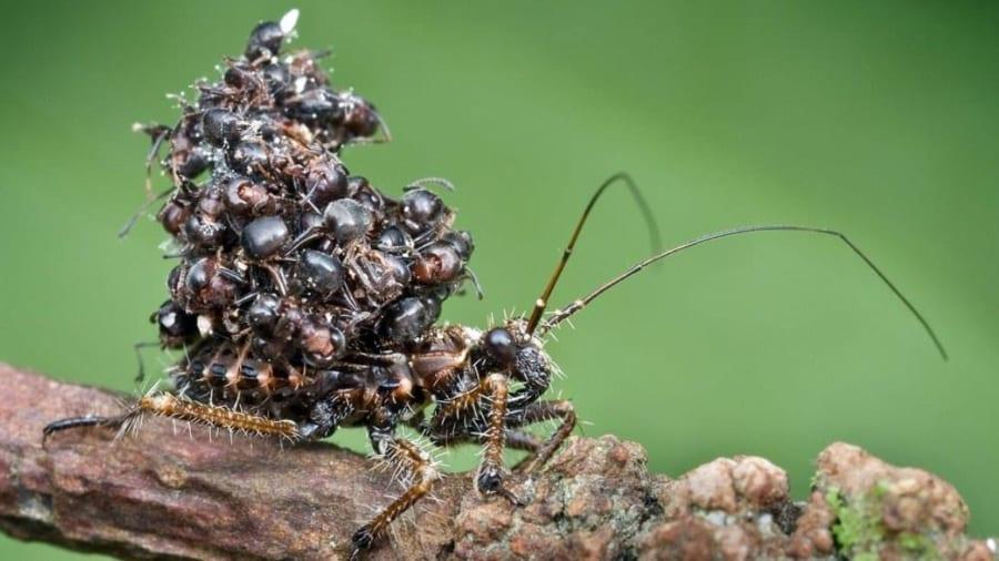 「暗殺虫(アサシンバグ)」の異名をもつムシの恐るべき習性とは?! アリの死体を山積みにして背負うワケ【画像注意】