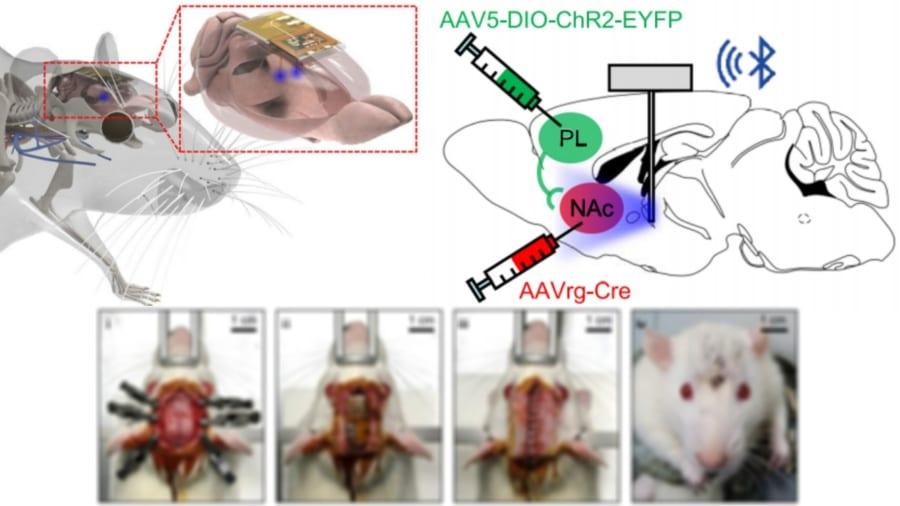 新たな脳制御チップはマウスの頭部に格納可能。一部刺激的な写真のためぼかして表示しています。