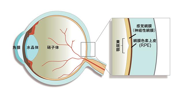 網膜色素上皮の位置