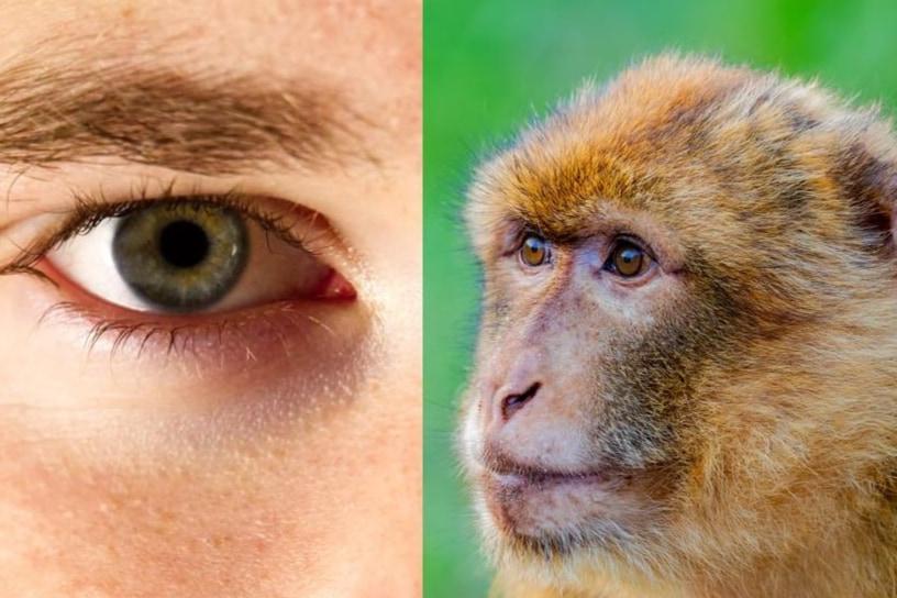 人間の死体から網膜細胞を採取し、サルの目へ移植することに成功