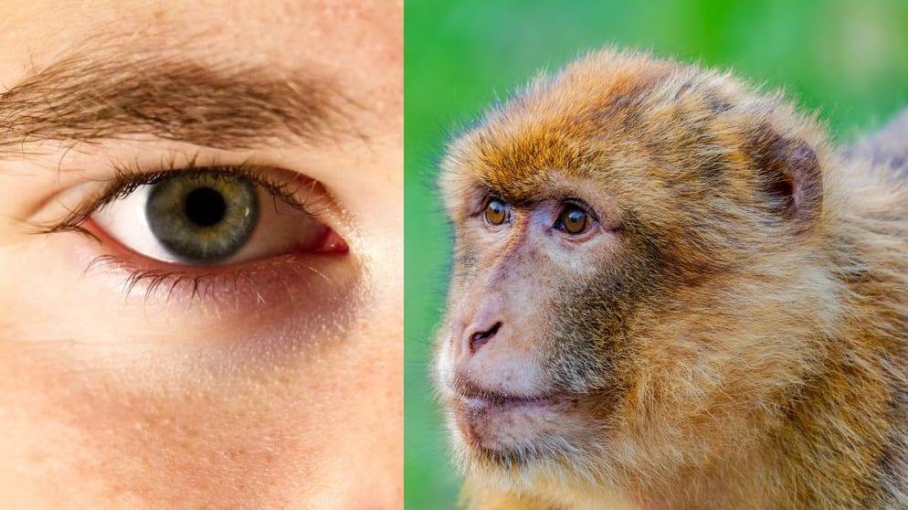 人間の死体から網膜幹細胞を採取し、サルの目に移植