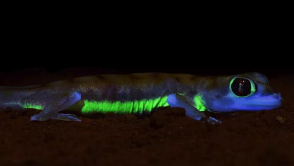 ネオングリーンに光るヤモリ