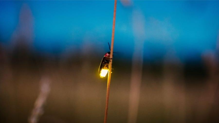 ホタルの光はもともと「赤色」だった! 1億年以上前からの色の変遷を解明