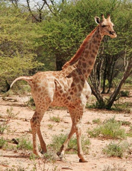 ナミビアで見つかった小人症のキリン