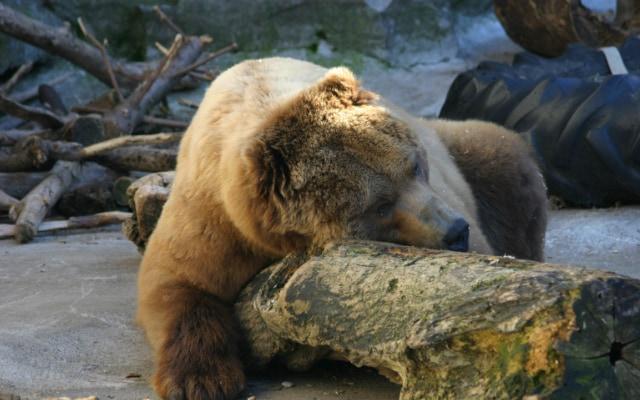 クマが冬眠するように、がん細胞も冬眠によって過酷な環境をやり過ごす。