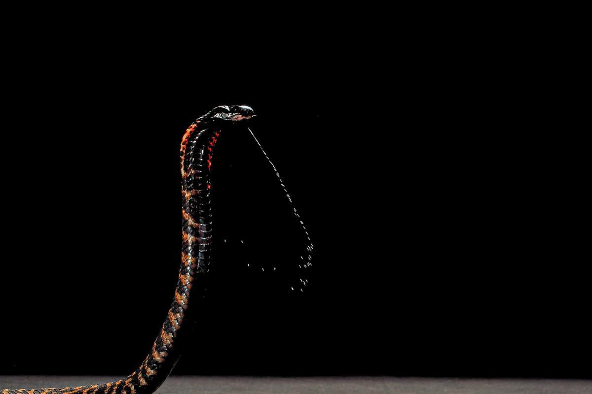 コブラが毒を吐く瞬間。