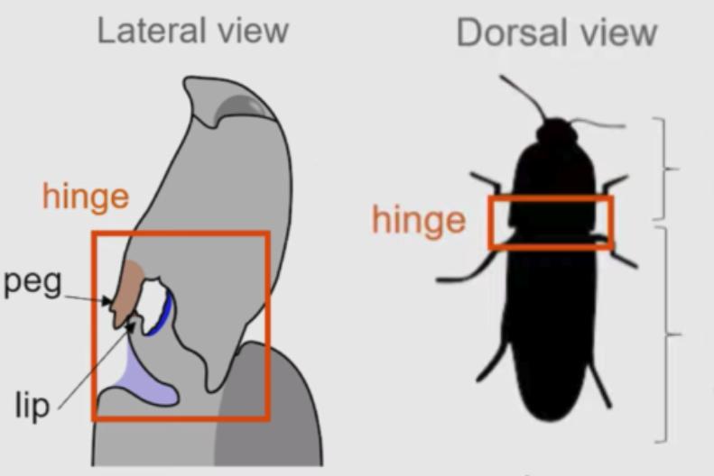 背面状態からハネ起きるコメツキムシ、体内に強力なエネルギーを放つ「蝶つがい」を持っていた