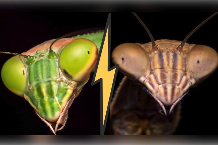 メスに食べられずに交尾するため… カマキリのオスは「メスに先制攻撃」を仕掛けて抑え込んでいた
