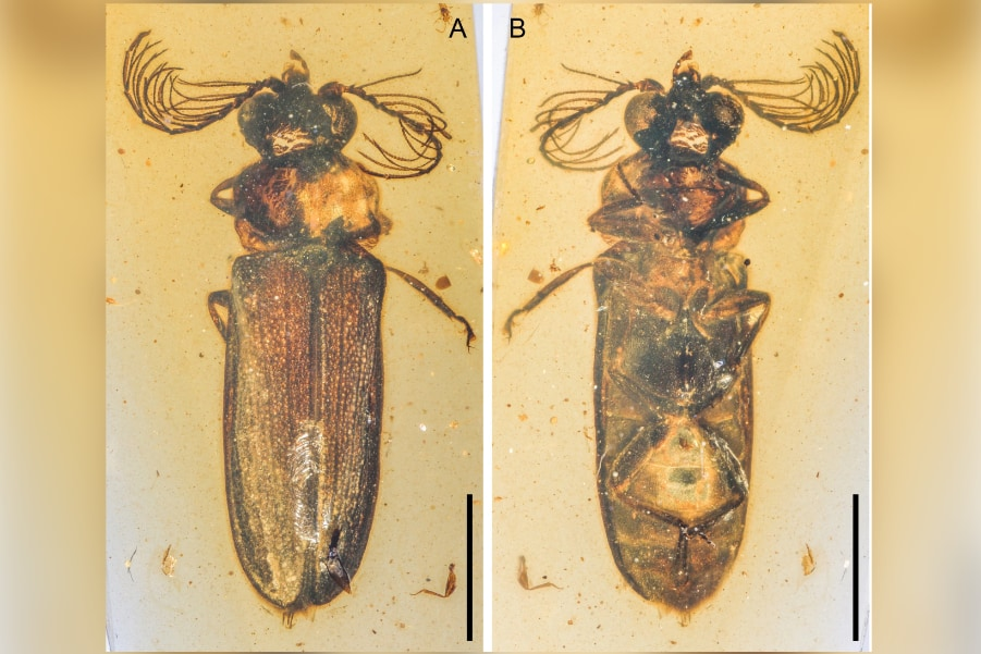 1億年前の「光る甲虫」の化石を発見! 発光器官が無傷のまま保存されていた