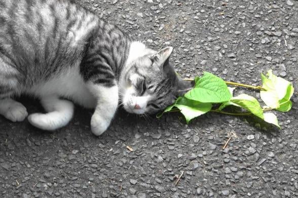 「ネコのマタタビ好き」のナゾ、ついに解明! 葉っぱに「蚊よけ成分」が含まれていた