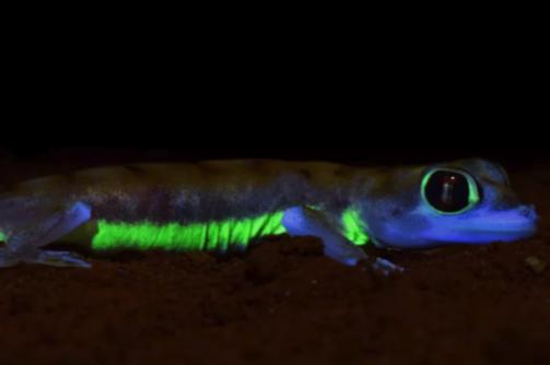 ネオングリーンに光る「砂漠ヤモリ」の発光メカニズムを解明! 夜間のコミュニケーションのため光っていた