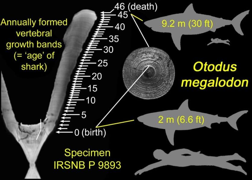 脊椎骨に見られる年輪を調査