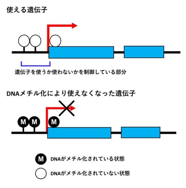 DNAメチル化による遺伝子の不活化