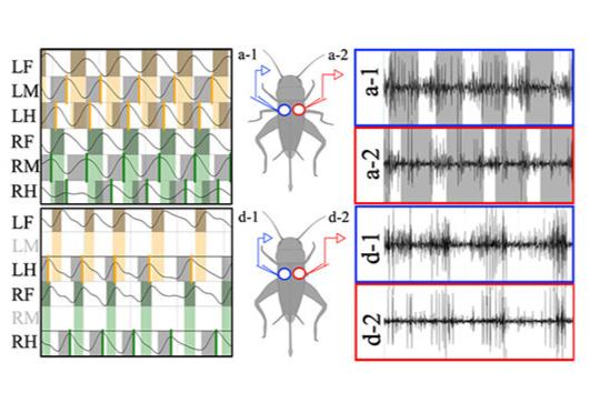 足を失った昆虫は歩行法を「4足動物式」に変化させる!適応のメカニズムを解明(日本)