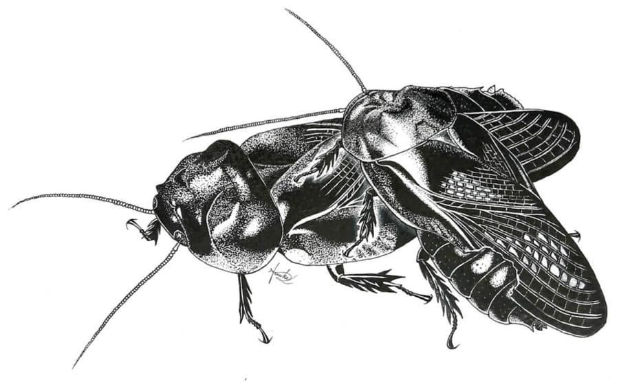 生物初! オスとメスが「ハネを食べ合う」行動を日本の森林ゴキブリで発見(ムシ注意)