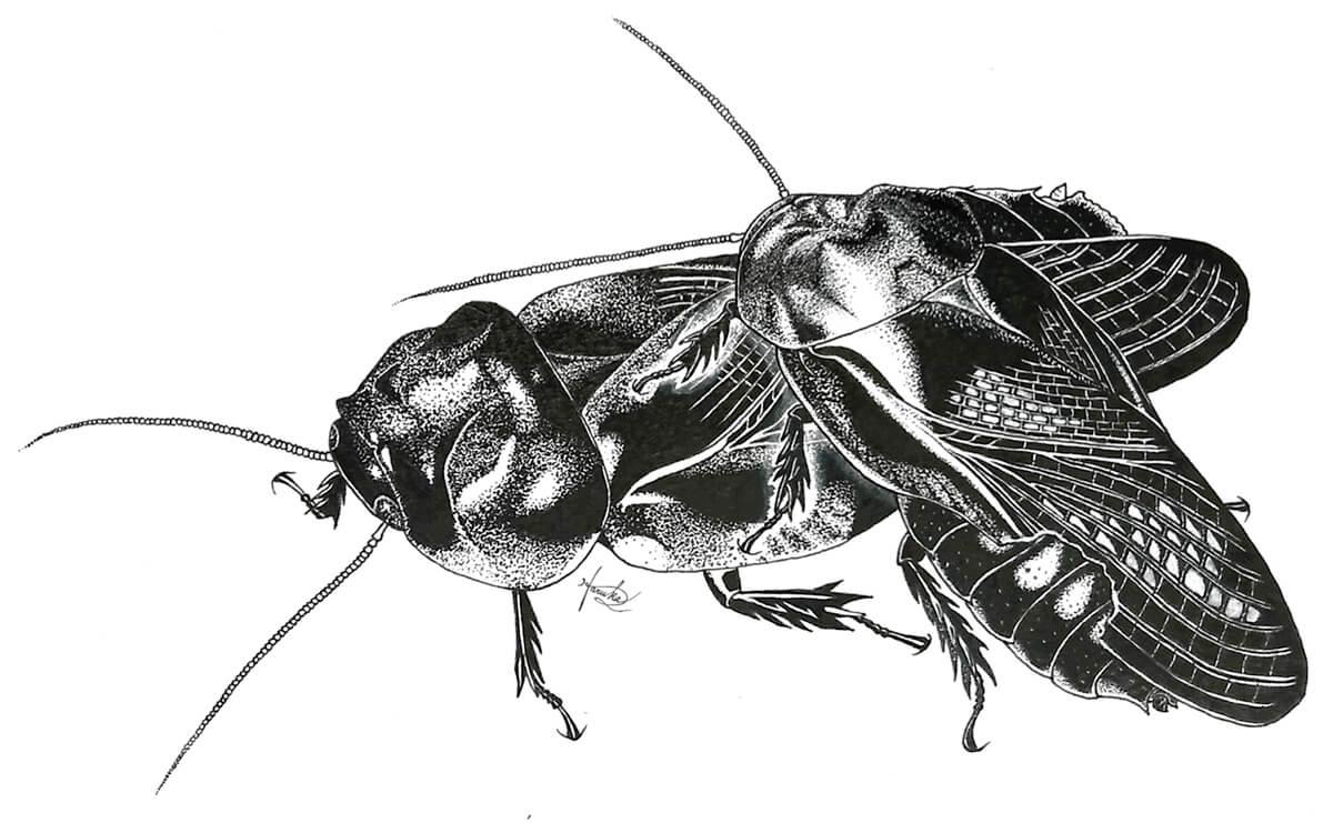 クチキゴキブリの食べ合い(画・大崎遥花氏、九州大学大学院システム生命科学府)