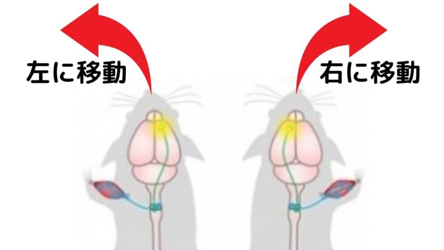 磁力でマウスを「遠隔操作」することに成功