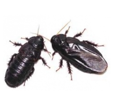 クチキゴキブリ(左が翅を食べられた後)