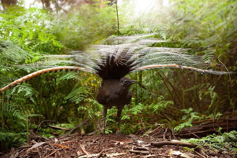 「声マネ」でメスをだまし、交尾を成功させる鳥類がいると判明
