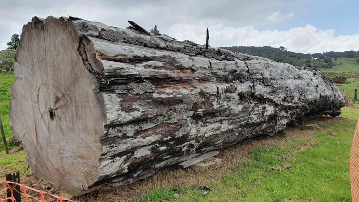 ニュージーランドのNgāwhāで発見された古代のカウリの木。