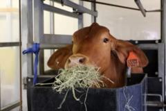 干し草を食べる肉牛