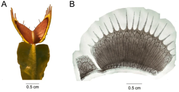 (A)の葉表面に見える「感覚毛」、上部のトゲトゲは違う