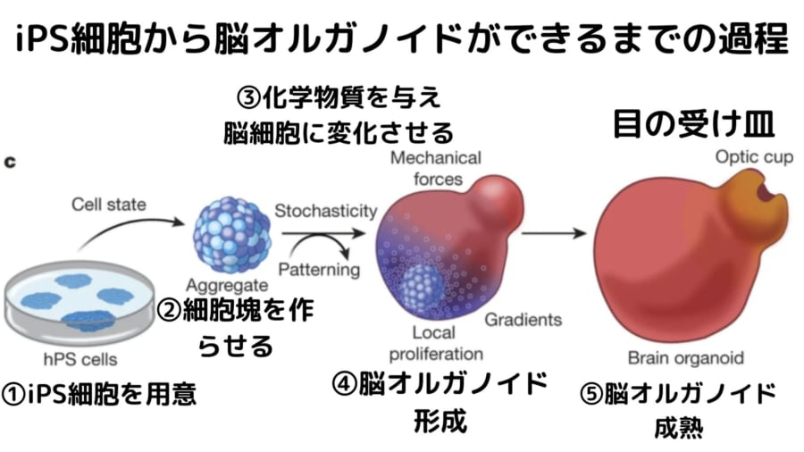 脳オルガノイドはiPS細胞を変化させることで作り出す