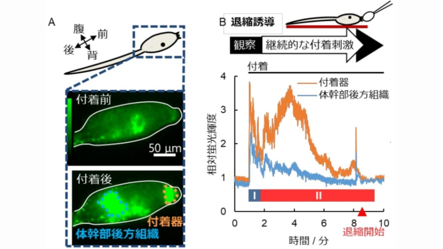 物理的な刺激が加わると、カルシウムイオンの二段階(Ⅰ・Ⅱ)の濃度上昇が起きた