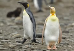 前例のない「黄色ペンギン」を発見! 黄色い色素がアルビノだけでは説明できないの画像 2/3